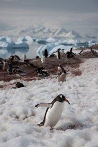 Penguin Antarctic Peninsula - Aurora Expeditions