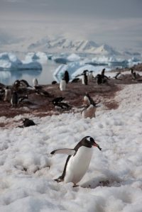 Penguin Antarctic Peninsula - Aurora Expeditions