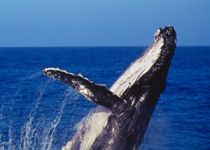 See Whales on Captain Cook Cruises Whale watching Cruises