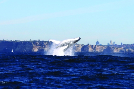 WHALES off Sydney Harbour