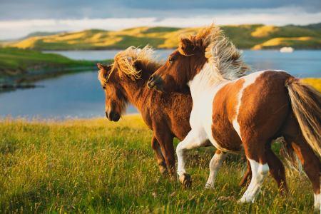 CC_Shetland_Lerwick_Ponies_Running