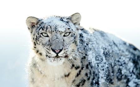 Snow Leopard
